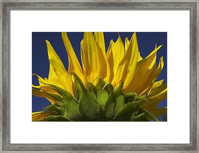 Sunflower Framed Print by Garry Gay