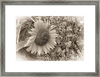 Framed Print featuring the photograph Sunflower In Sepia by Vicki DeVico