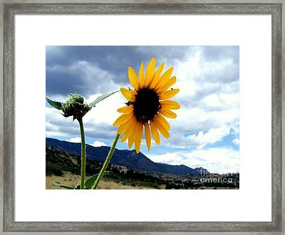 Sunflower In The Rockies With Friends Framed Print by Donna Parlow