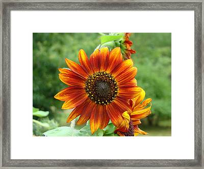 Sunflower Framed Print by Lisa Rose Musselwhite