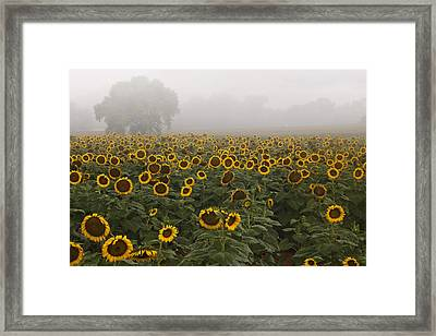 Sunflower Morning Ll Framed Print by Rob Travis