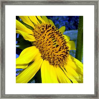 Sunflower No.25 Framed Print by Christine Belt