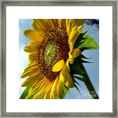 Sunflower No.29 Framed Print