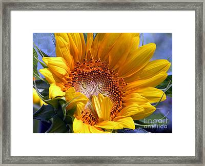 Sunflower No.37 Framed Print by Christine Belt