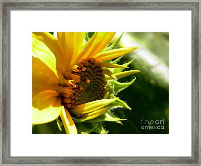 Sunflower No.6 Framed Print