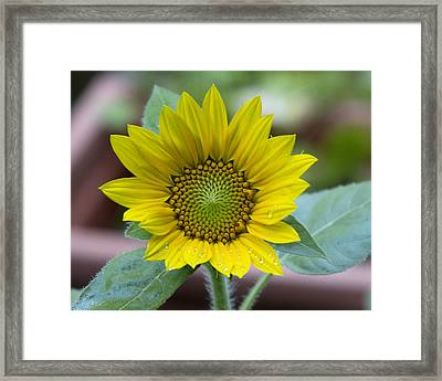 Sunflower Number 2 Framed Print