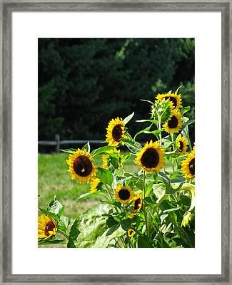 Sunflower Patch Framed Print by Debra     Vatalaro