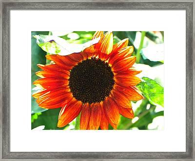 Sunflower Framed Print by Rhiannon Hamm