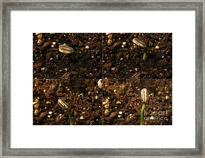 Sunflower Seedling Growth Sequence Framed Print by Ted Kinsman
