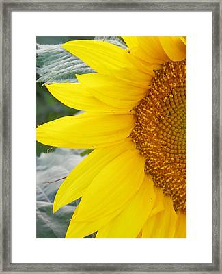 Sunflower Sun Framed Print