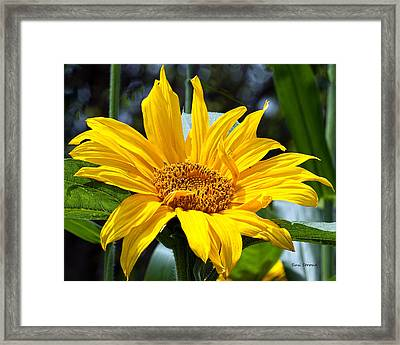 Framed Print featuring the photograph Sunflower by Susi Stroud