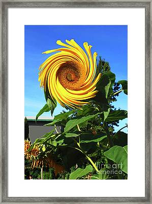 Sunflower Twirl Framed Print by Bill Thomson