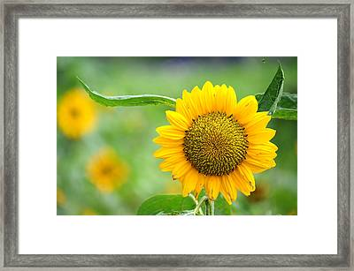 Framed Print featuring the photograph Sunflower by Yew Kwang