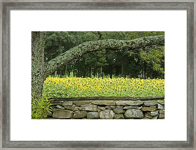 Sunflowers 1 Framed Print by Ron Smith