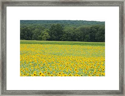 Sunflowers 2 Framed Print by Ron Smith