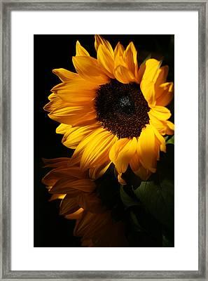 Sunflowers Framed Print by Dorothy Cunningham