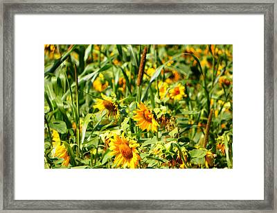 Sunflowers Framed Print by Jennifer Compton