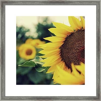Sunflowers Framed Print by Kirstin Mckee