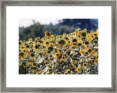 Framed Print featuring the photograph Sunflowers by Maureen E Ritter