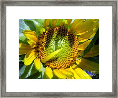 Sunflowers No.33 Framed Print by Christine Belt
