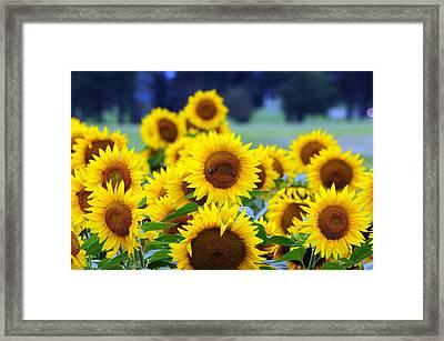 Sunflowers Framed Print by Paul Ward