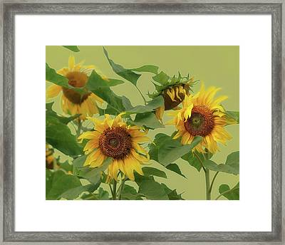 Sunflowers Framed Print by Photo by James Keith