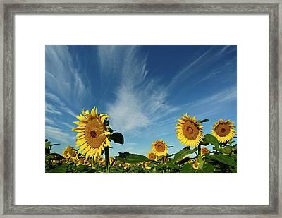 Sunflowers Framed Print by Robin Wilson Photography