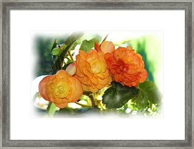 Sunkissed Begonia Trio Framed Print