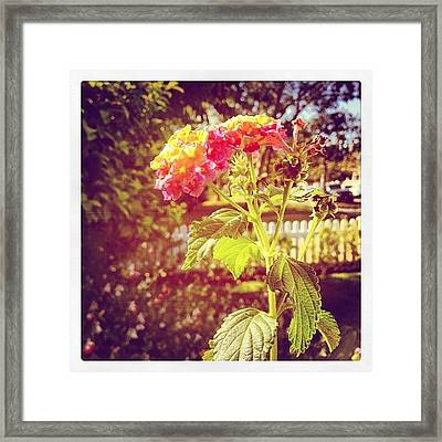 #sunlight #beautiful #flower Framed Print