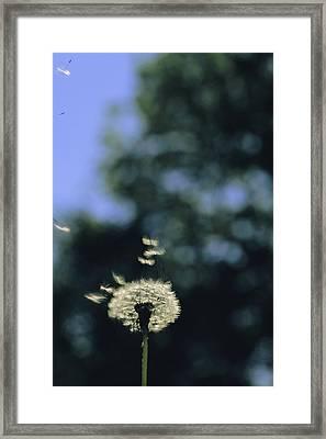 Sunlight Catches Wind-blown Dandelion Framed Print