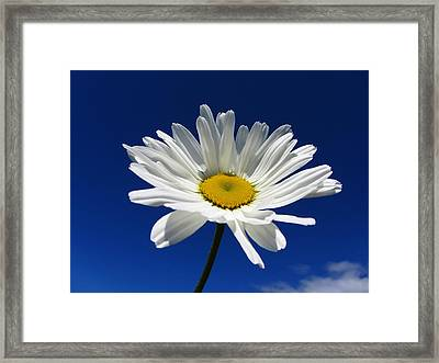 Sunlight Daisy Framed Print by By Merete Stava