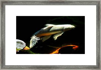 Sunlight Koi Framed Print