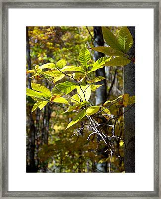 Sunlight On Leaves Framed Print