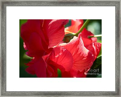Sunlight On Red Hibiscus Framed Print