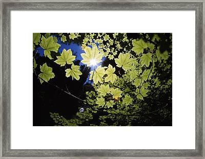 Sunlight Through Maple Leaves Framed Print