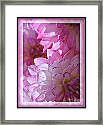 Sunlight Through Pink Dahlias Framed Print by Carol Groenen