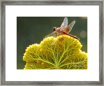 Framed Print featuring the photograph Sunlit Dragonfly On Yellow Yarrow by Michele Penner