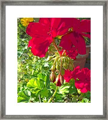 Sunlit Geraniums Framed Print by Padre Art