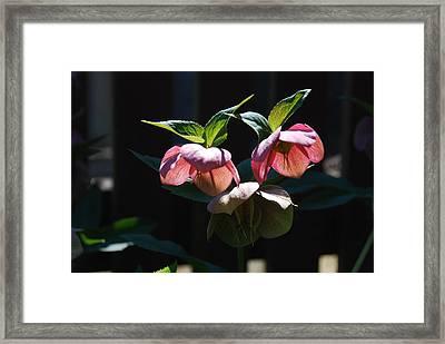 Sunlit Hellabores Framed Print