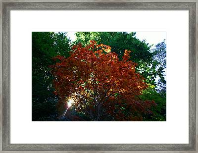 Sunlit Maple Framed Print by Jerry Cahill