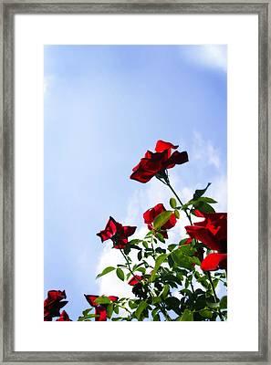 Sunlit Roses Framed Print by Alan Hausenflock