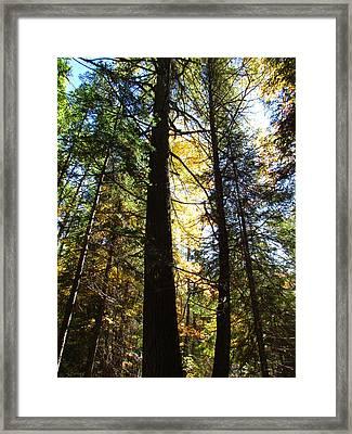 Sunlite Pine Trees Framed Print by Christine Hafeman