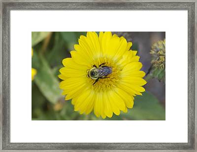 Sunny Bumblebee Framed Print