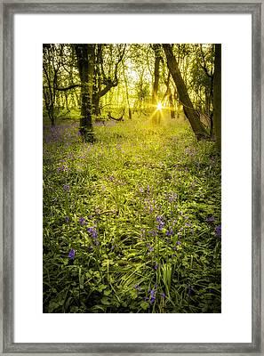 Sunrise In Bluebell Woods Framed Print by Amanda Elwell