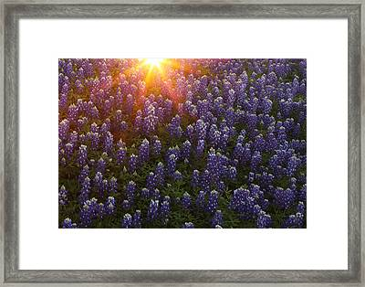 Sunset Over Bluebonnets Framed Print