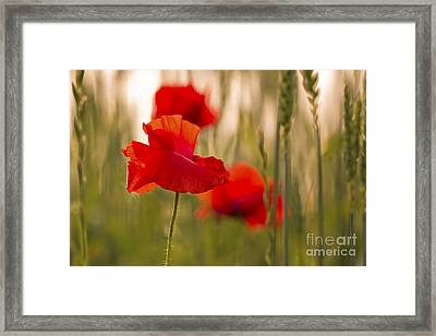 Sunset Poppies. Framed Print by Clare Bambers