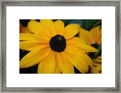 Sunshine Daisies Framed Print by Devon Stewart
