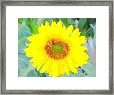 Sunshine Flower Framed Print by Amy Bradley