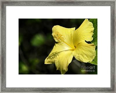 Sunshine Yellow Hibiscus Framed Print by Sabrina L Ryan