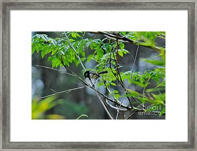 Superb Fairy-wren Framed Print